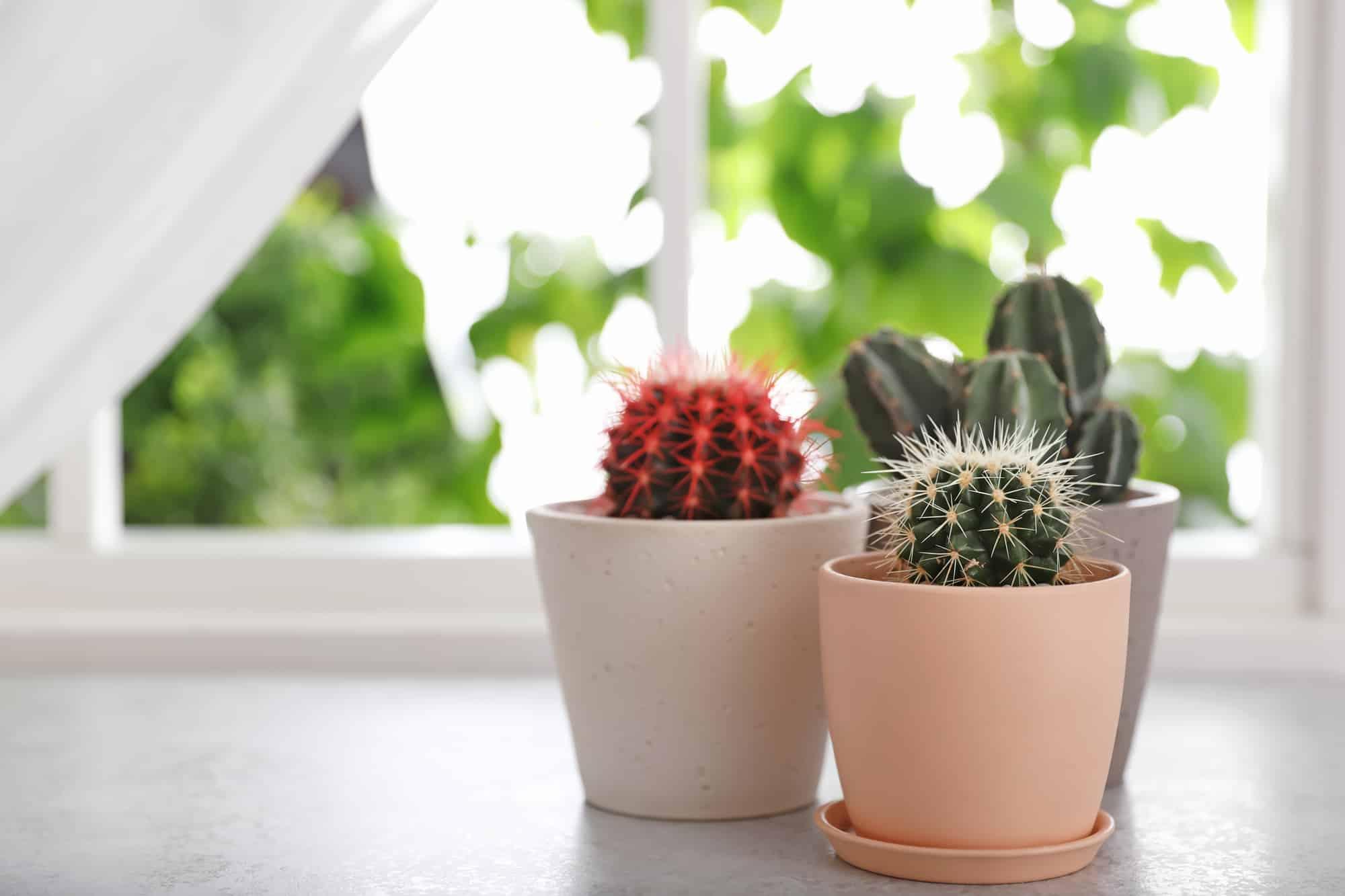 Cactus In Window